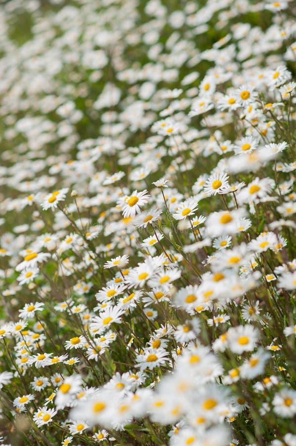 Witte & gele madeliefjebloemen in tuin of weide stock afbeeldingen