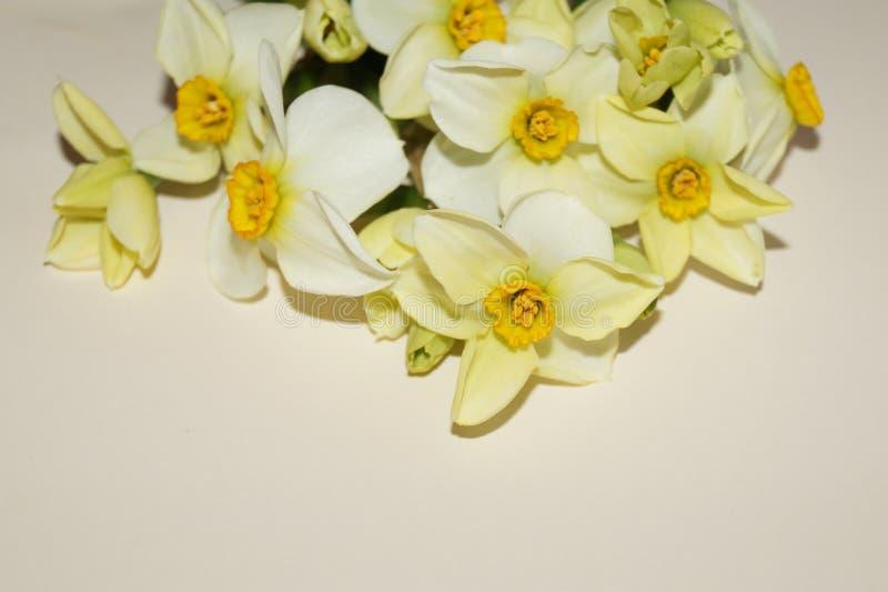 Witte gele narcissen stock afbeeldingen