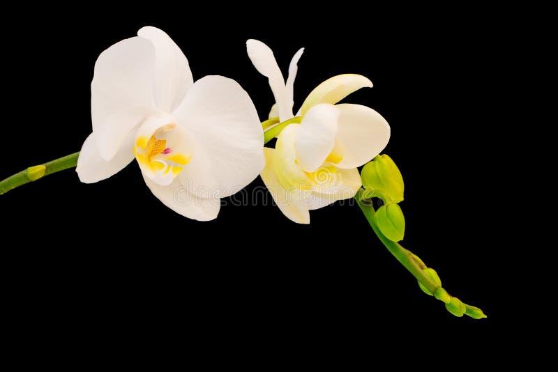 Witte & Gele orchidee royalty-vrije stock foto