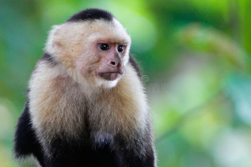 Witte geleide capuchin royalty-vrije stock foto