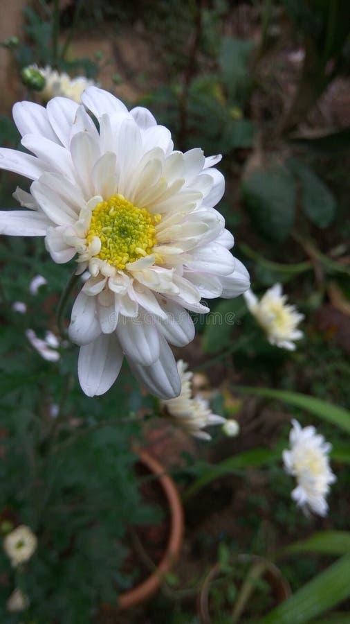 Witte gemeenschappelijke chrysant royalty-vrije stock afbeelding