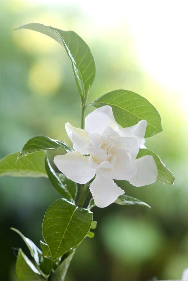 Witte gemeenschappelijke gardenia of kaapjasmijnbloem stock foto