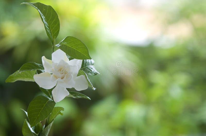 Witte gemeenschappelijke gardenia of kaapjasmijnbloem stock afbeeldingen