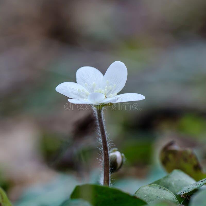 Witte Gemeenschappelijke Hepatica royalty-vrije stock fotografie
