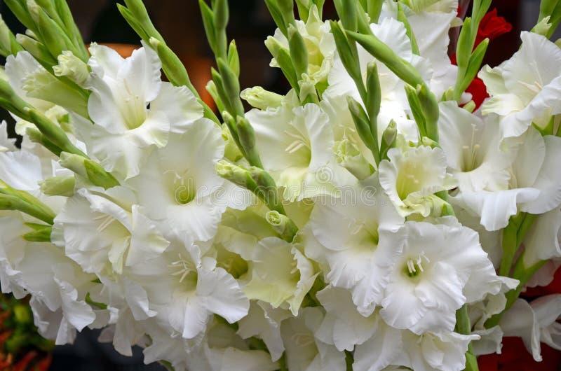 Witte gladiolabloemen stock afbeeldingen