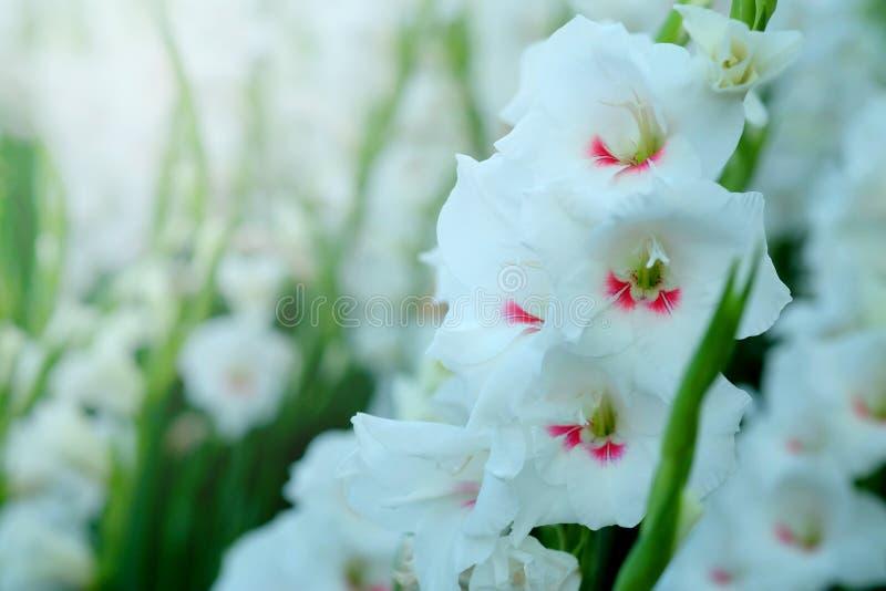 Witte Gladiolenbloem op gebied Vertegenwoordiging aan Schitterende Schoonheid en belofte stock foto