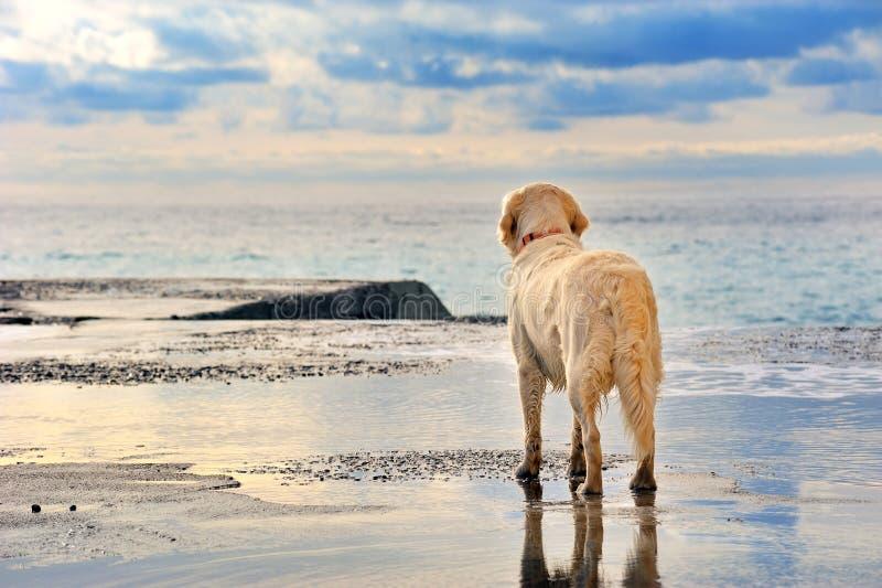 Witte golden retrievereigenaar die op de strandboulevard wachten royalty-vrije stock afbeelding