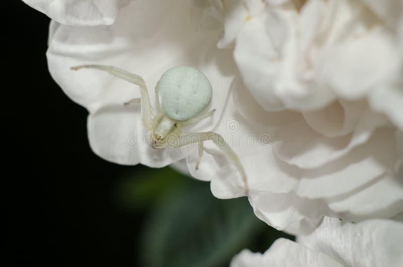 Witte Goldenrod krabspin het nabootsen kleur van roze bloemblaadjes Witte spin op de bloem stock foto