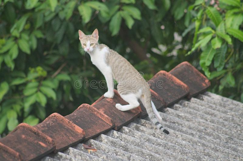 Witte Grey Cat Standing On Roof Tiles royalty-vrije stock foto's
