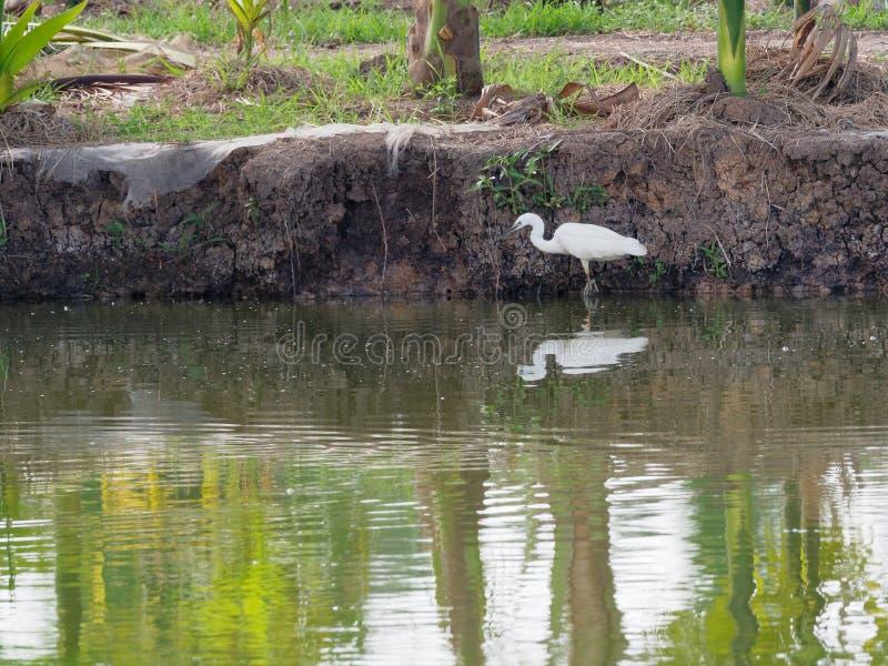 Witte grote aigrettevogel die en voor de jacht van vissen door vissenvijver besluipen waden in viskwekerij royalty-vrije stock afbeelding