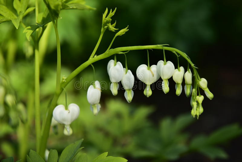 Witte Hartbloemen royalty-vrije stock foto's