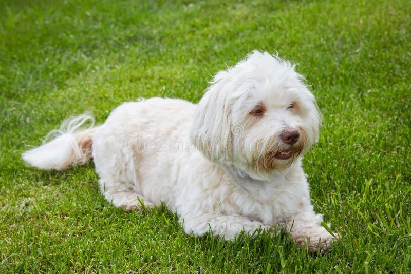 Witte havanese hond die in het groene gras liggen stock fotografie