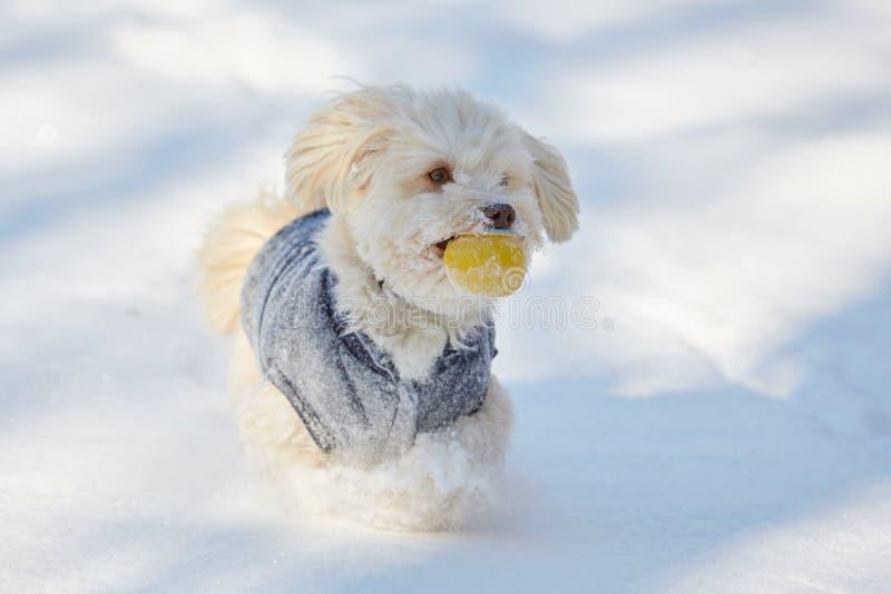 Witte havanese hond met bal in de sneeuw stock foto's