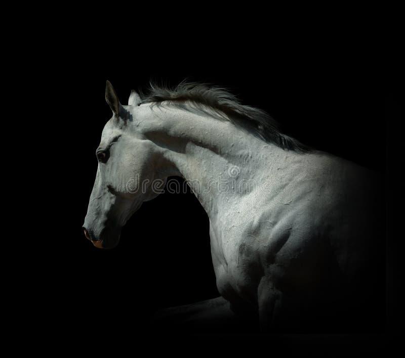 Witte hengst op een geïsoleerde zwarte stock fotografie