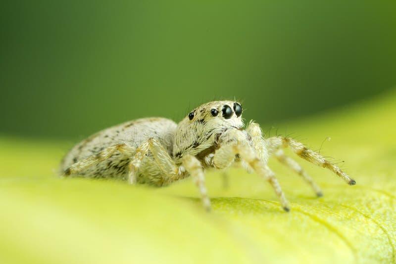 Witte het Springen Spinnen royalty-vrije stock afbeeldingen