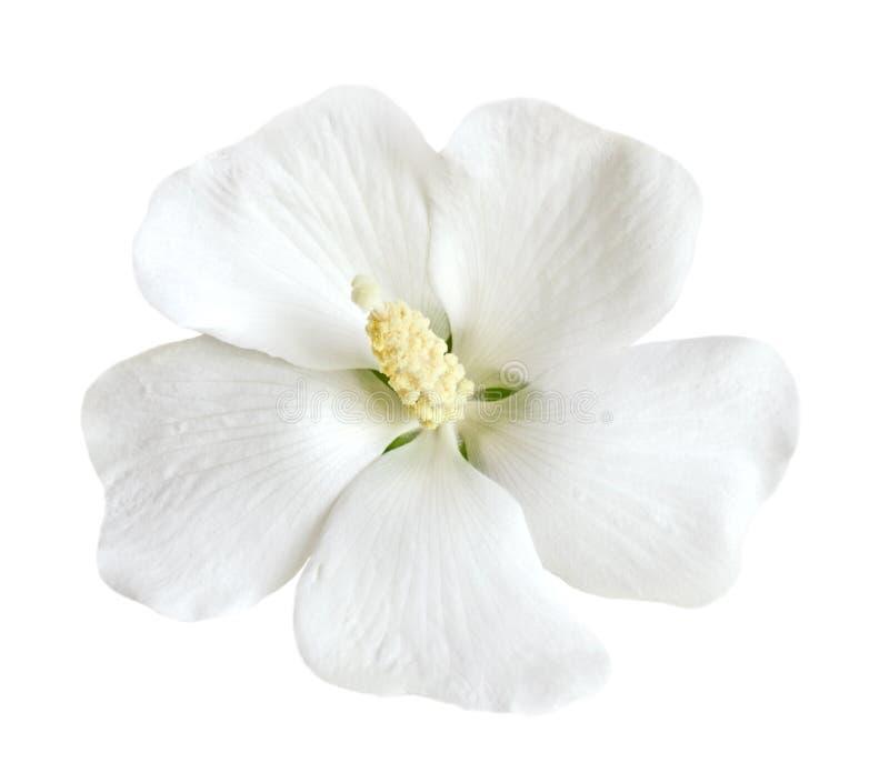 Witte Hibiscus stock foto's