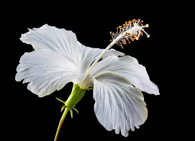 Witte hibiscusbloem stock foto