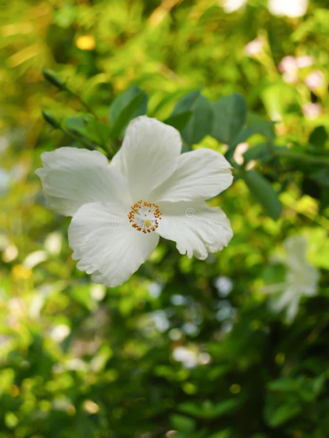 Witte hibiscusbloemen op een heldergroene aardachtergrond royalty-vrije stock afbeelding