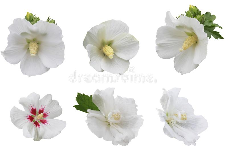 Witte Hibiscusinzameling stock foto's