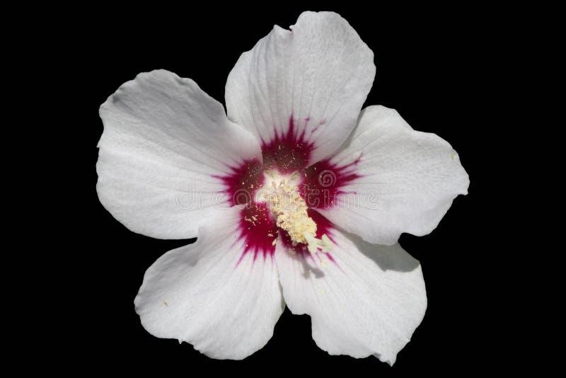 Witte hibiscussyriacus nam van het Rode die Hart ` van Sharon ` op B wordt geïsoleerd toe royalty-vrije illustratie