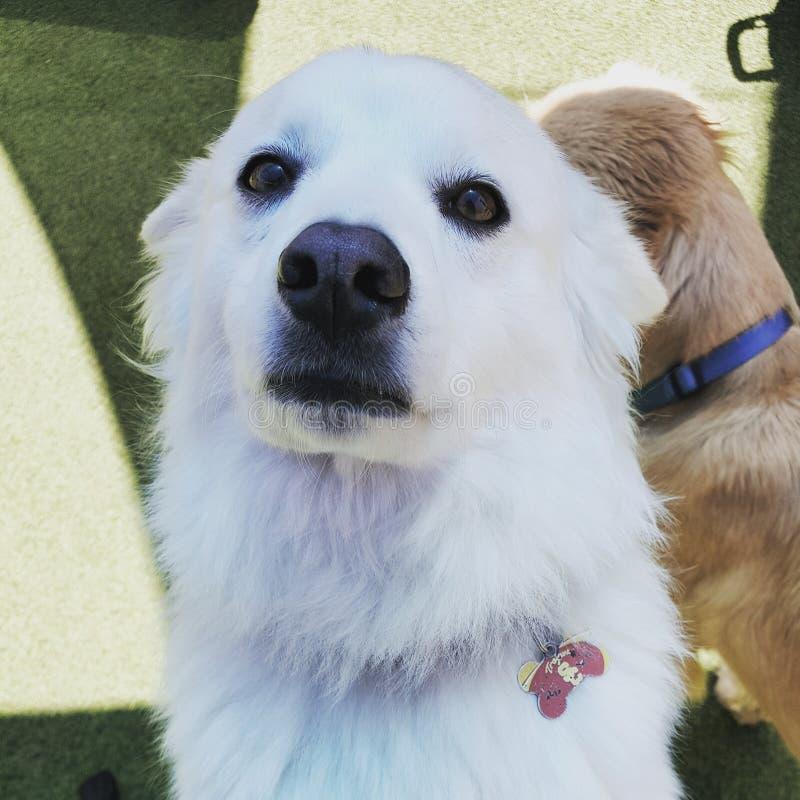 Witte hond stock foto