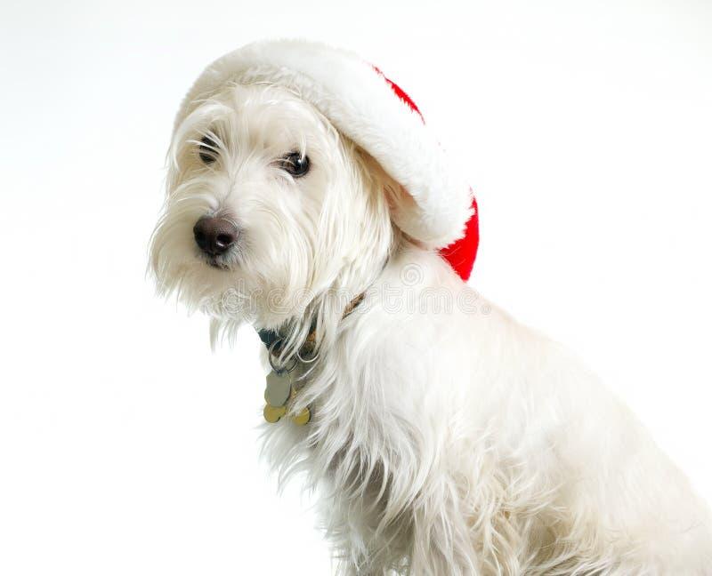 Witte Hond in de Hoed van de Kerstman royalty-vrije stock afbeelding