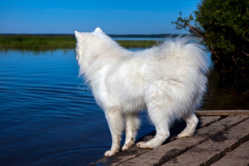 Witte hond dichtbij meer stock foto