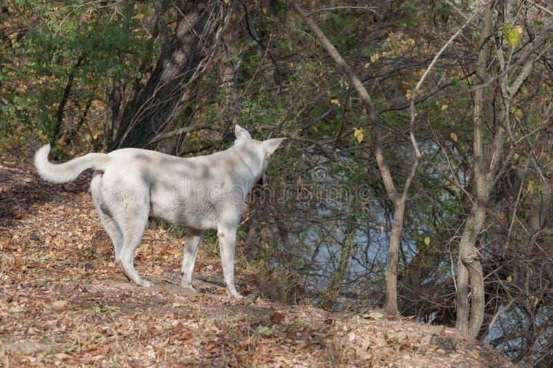 Witte hond die het gebied waarnemen royalty-vrije stock foto's