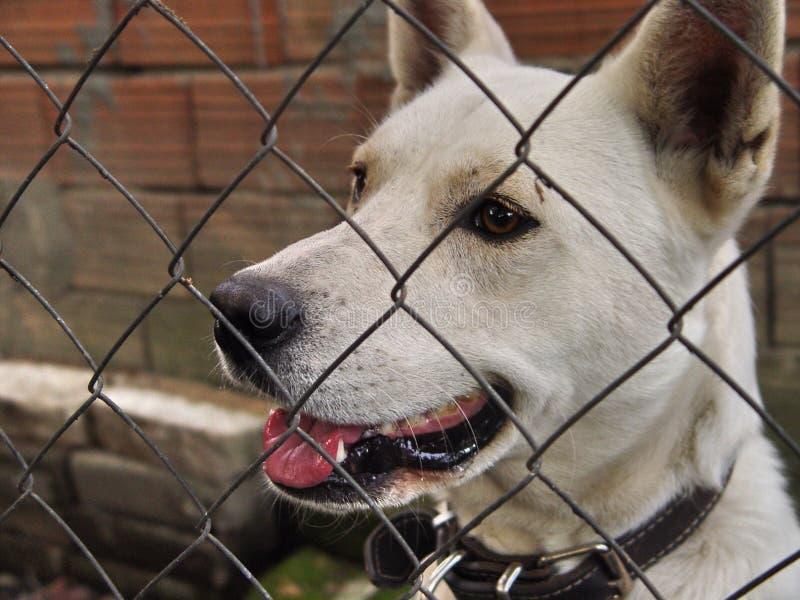 Witte hond die over draadomheining kijken royalty-vrije stock foto