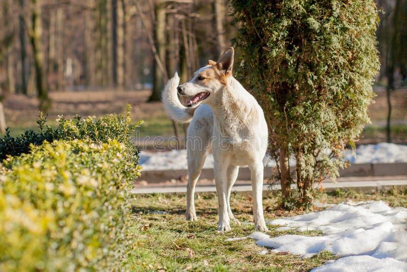 Witte hond die zich op gras op de parkachtergrond bevinden stock fotografie