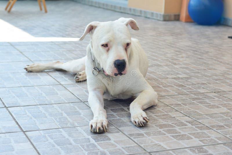 Witte Hond Dogo Argentino Argentine Mastiff stock afbeeldingen