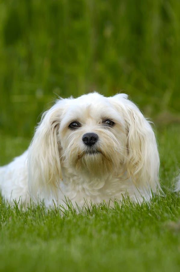 Witte hond op gras royalty-vrije stock afbeeldingen