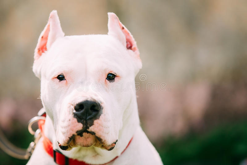 Witte Hond van de Argentijnse Mastiff van Dogo Argentino Also Known As The royalty-vrije stock afbeelding