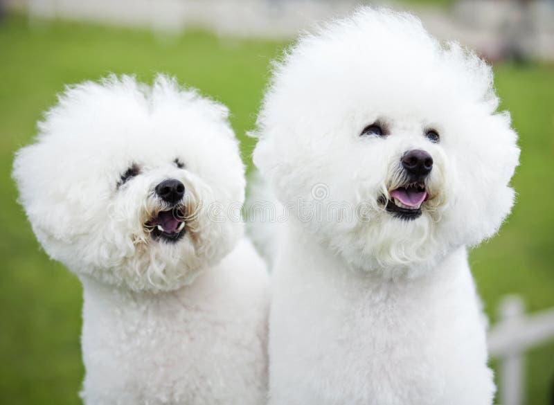 Witte honden stock foto