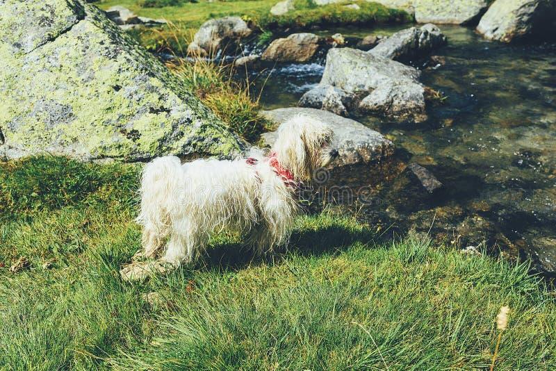 Witte hondtribune in een weide dichtbij het meer royalty-vrije stock afbeelding