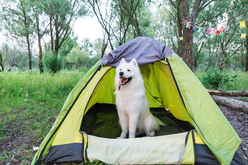 Witte hondzitting op aard naast de tent in de avond bij zonsondergang stock foto's