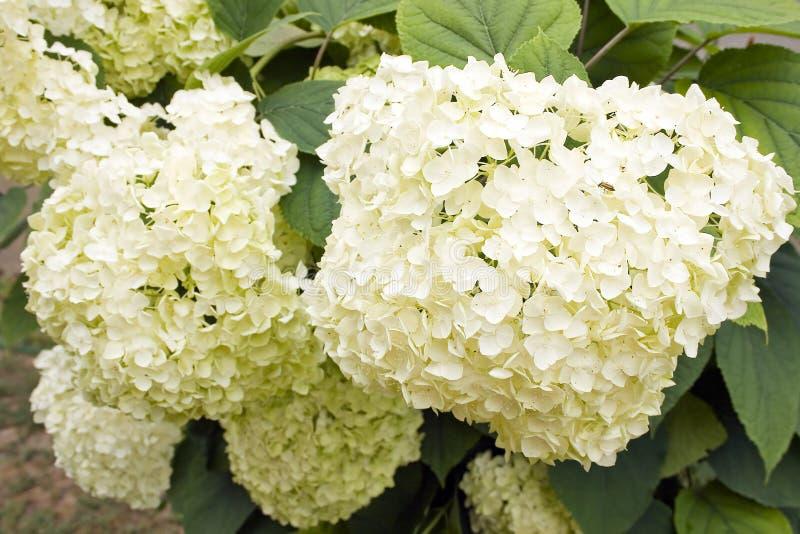 Witte Hortensia royalty-vrije stock afbeeldingen