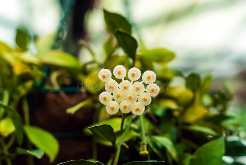 Witte hoya bloemen op vage achtergrond royalty-vrije stock afbeelding