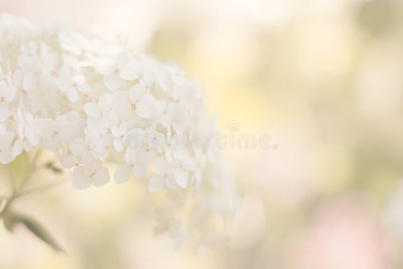 Witte hydrangea hortensia stock fotografie
