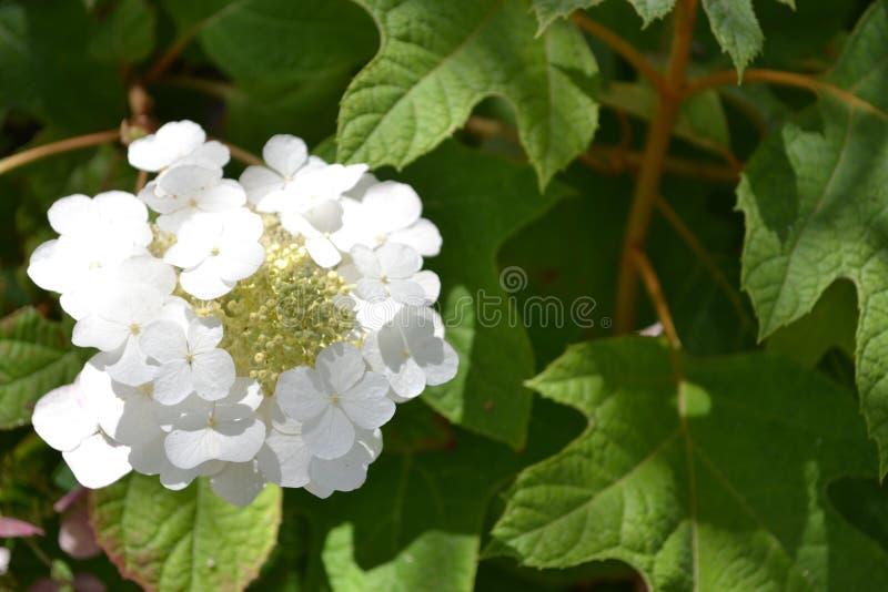 Witte Hydrangea hortensiabloei stock foto