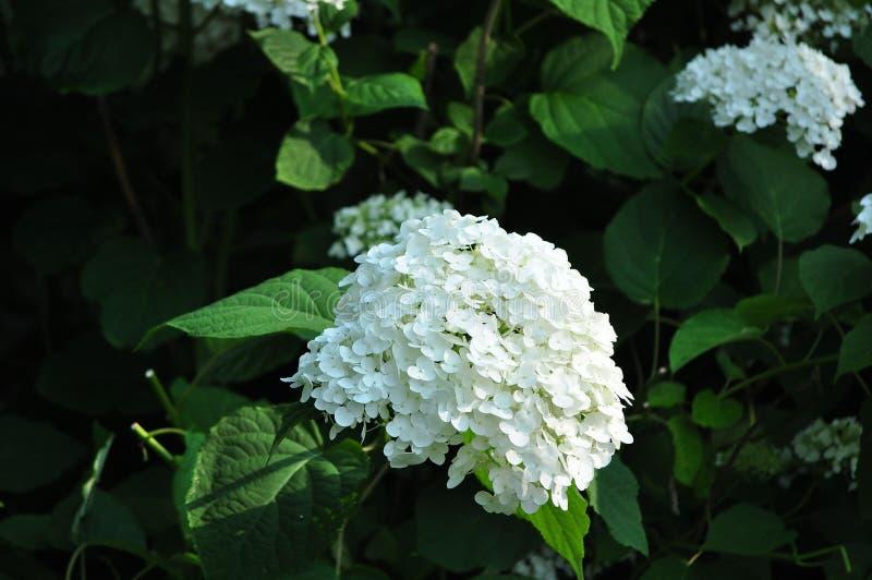 Witte hydrangea hortensiabloemen royalty-vrije stock fotografie