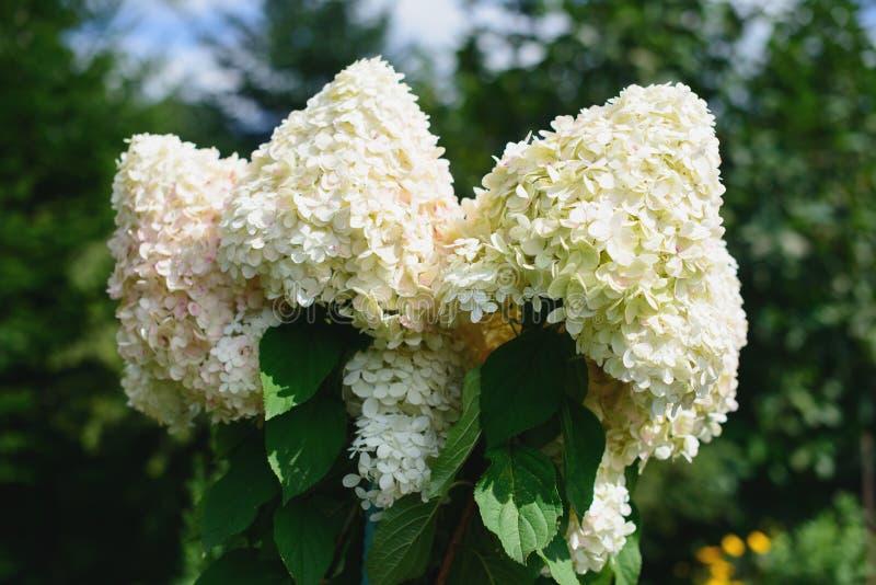Witte hydrangea hortensiabloemen in een tuin over vage achtergrond royalty-vrije stock foto