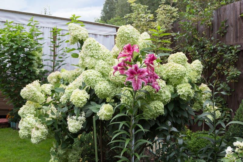 Witte hydrangea hortensiastruik en lelie royalty-vrije stock foto