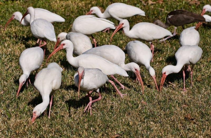Witte Ibis, vogels van Florida stock afbeeldingen