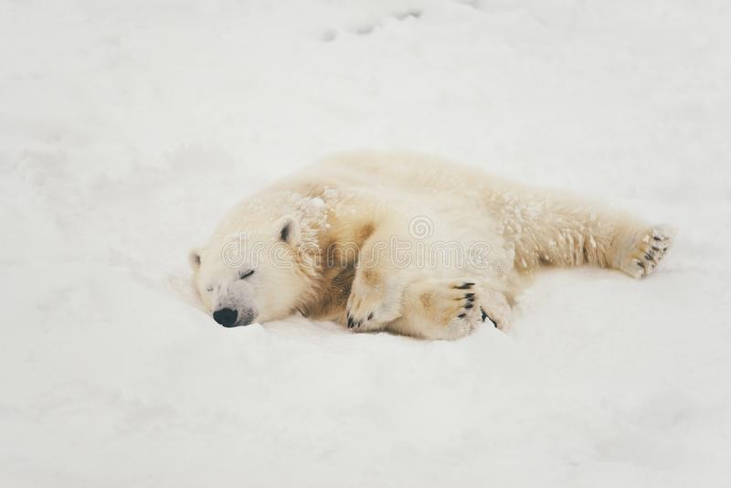 Witte ijsbeer in sneeuwbos royalty-vrije stock fotografie