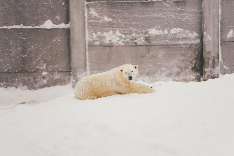 Witte ijsbeer in sneeuwbos stock foto