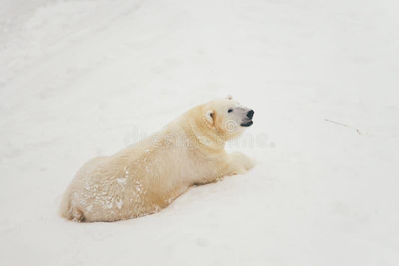 Witte ijsbeer in sneeuwbos royalty-vrije stock foto
