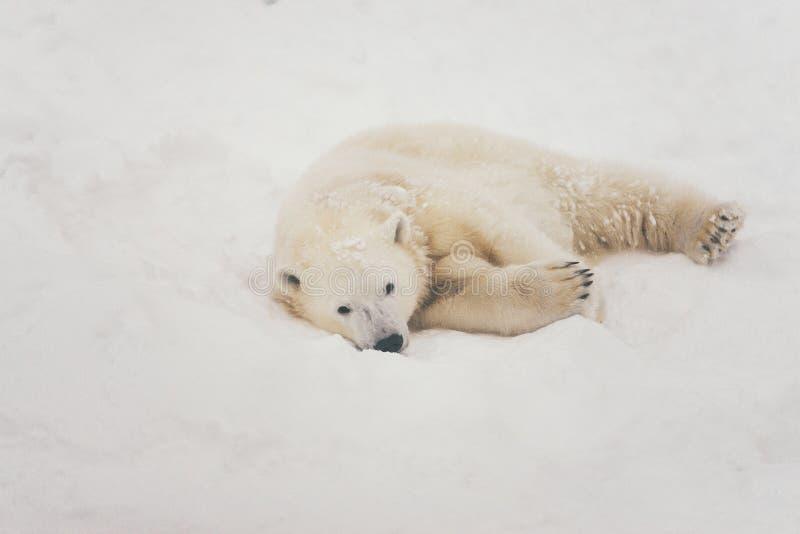 Witte ijsbeer in sneeuwbos stock afbeeldingen