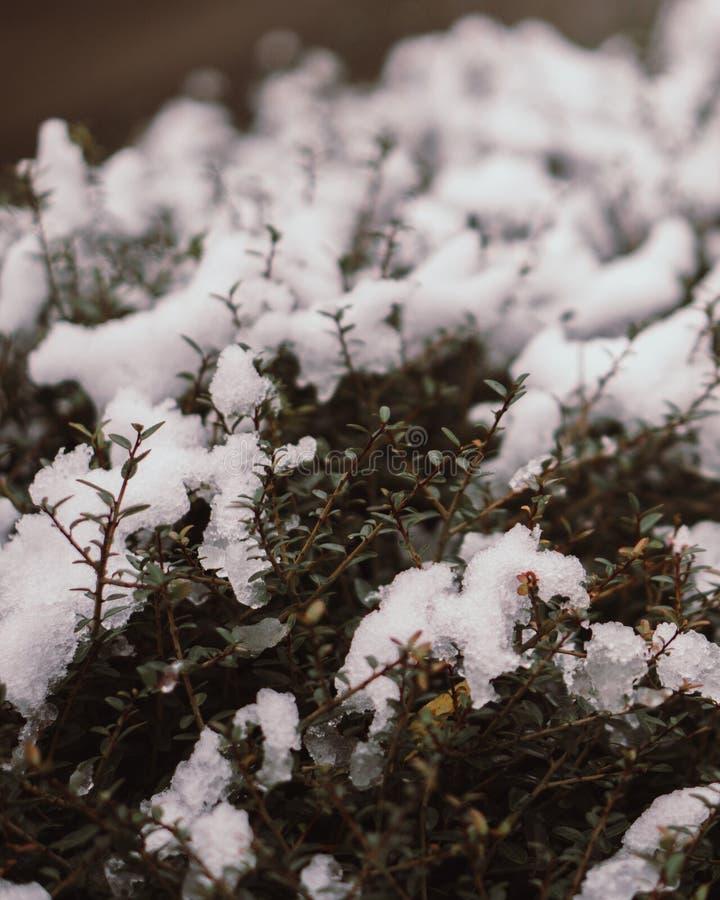 Witte ijssneeuw op struik royalty-vrije stock foto's