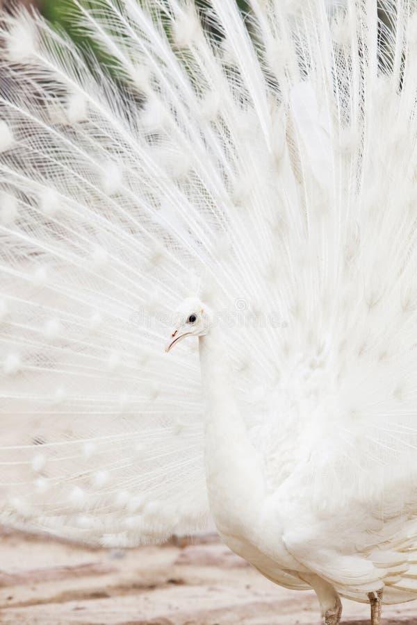 Witte Indische fazantpauw op grond royalty-vrije stock afbeelding